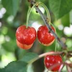 sweet-cherries-510423_1280