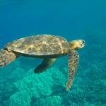 sea-turtle-717341_1280
