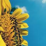 sunflower-690209_1280