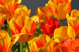 tulips-1261142_1280