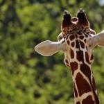 giraffe-1341638_1280